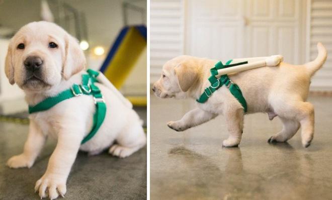 A leendő vakvezető kutyusok különleges mini-hámban tanulnak