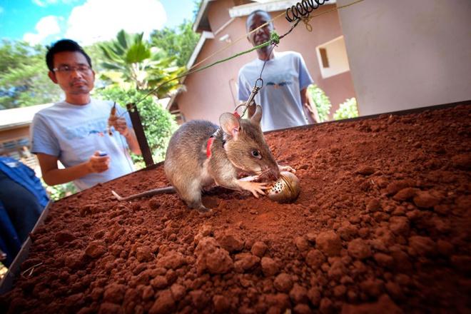 Az afrikai aknamezőket óriáspatkányok szagolják ki
