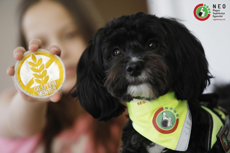 Gluténjelző kutya - Már magyarországon szolgálatba állt az első