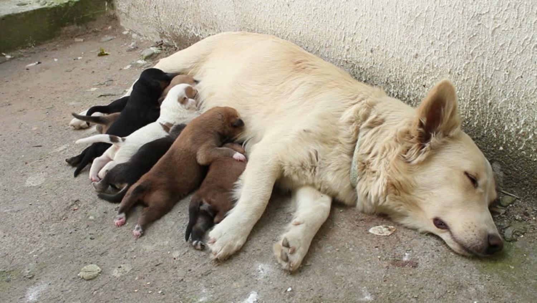 Egy felmérés szerint az ivartalanítást tartják a legkevésbé fontosnak a magyarországi kutyatartók
