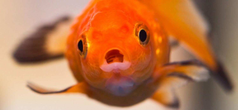 Ezeket biztosan nem tudod az aranyhalról