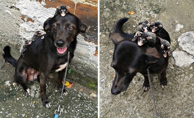 Árva oposszumokat nevelget egy kutyus