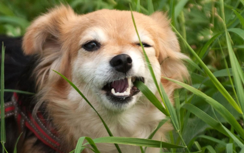 Miért esznek előszeretettel a kutyák füvet?