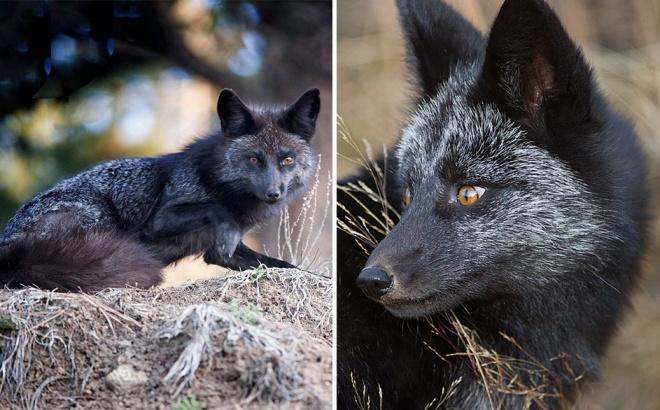 Elképesztő fotók készültek ritka fekete rókákról