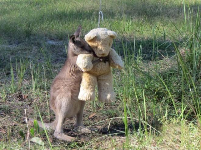 Egy kengurubébi, akinek mindene a plüssmacija