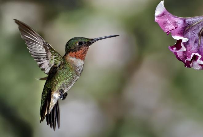 A tüzestorkú kolibrik megállás nélkül akár több mint kétezer kilométert is képesek repülni