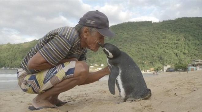 Egy pingvin több ezer kilómétert tesz meg, hogy láthassa megmentőjét
