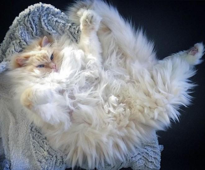 Egy selymes bundájú cica, aki úgy néz ki mint egy hatalmas felhő