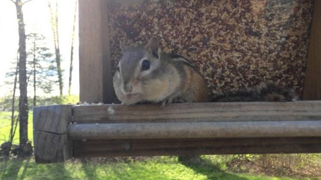 Lebukott a falánk mókus