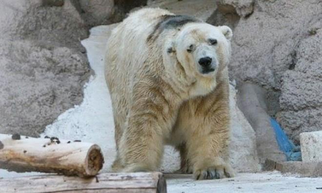 A világ legszomorúbb jegesmedvéje 22 évnyi rabság után elhunyt