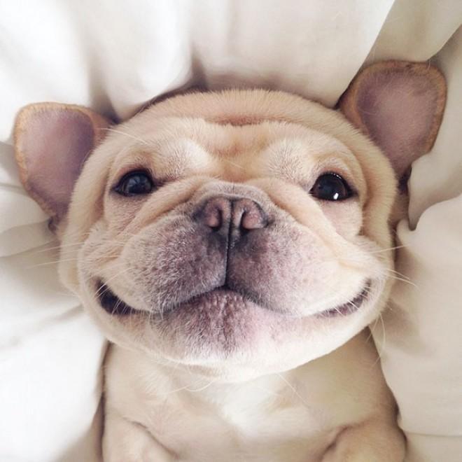 A szundikáló francia bulldognál ma már cukibbat nem látsz