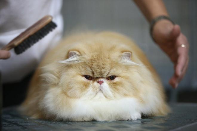 Macskakozmetika hosszú szőrű és perzsa cicáknak