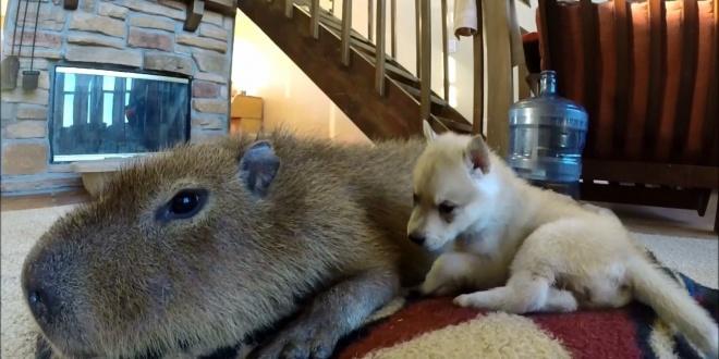 Kapibara, a 70 kilós tengerimalac