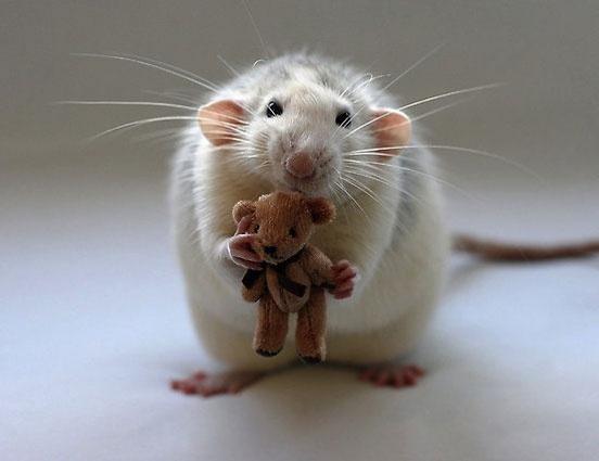 15 cuki kép patkányokról