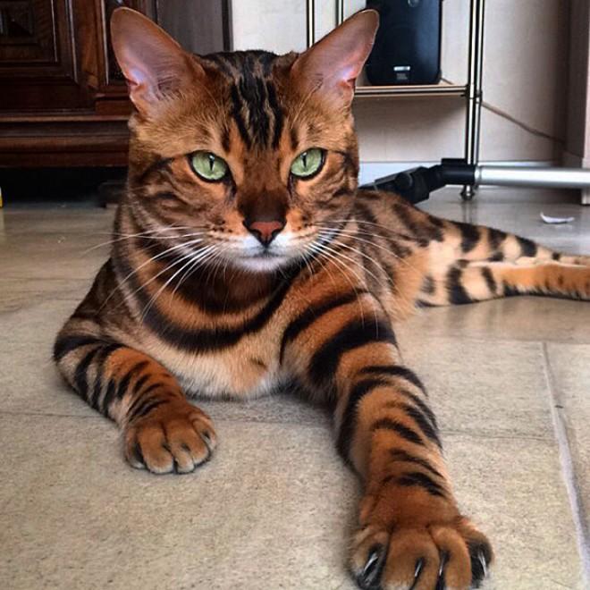 A legszebb bunda büszke tulajdonosa, Thor cica