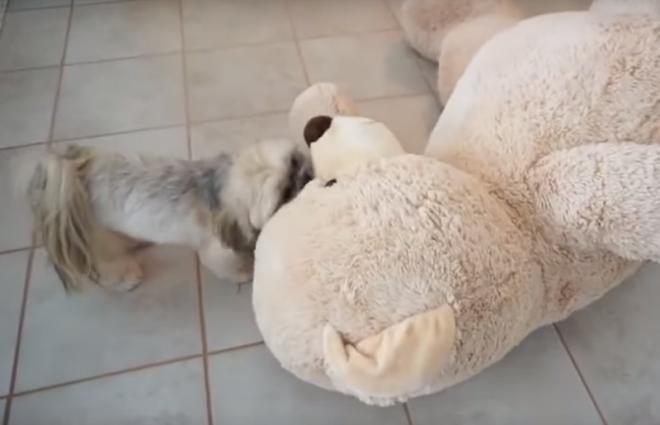 Egy apró kutyus küzdelme a hatalmas macival!