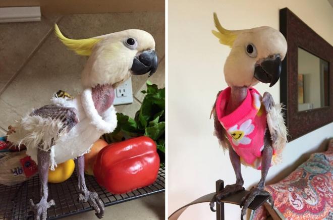 A depressziós papagájt apró pulóverek tartják melegen
