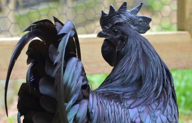 EZ NEM PHOTOSHOP! Ennek a több százezer forintot érő csirkének még a csontjai is feketék!