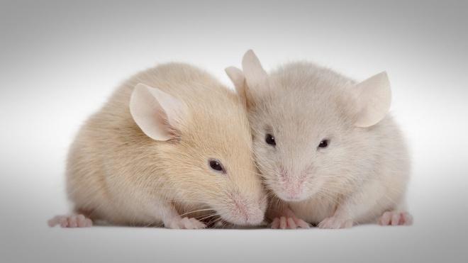 Éneklő egerek