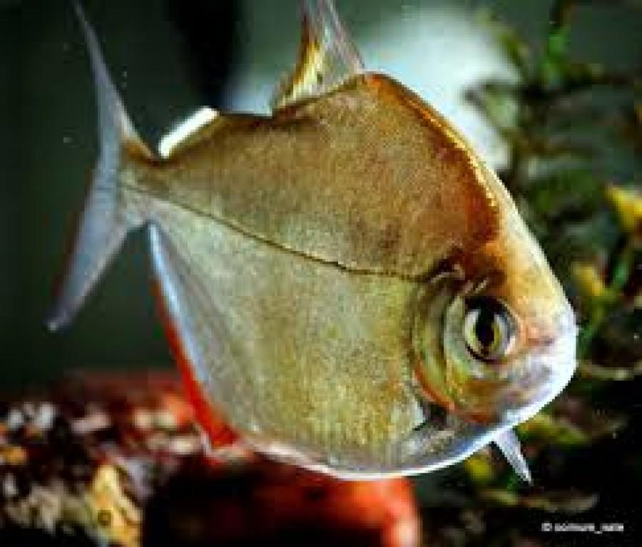 Gyilkos halak a tányérodon