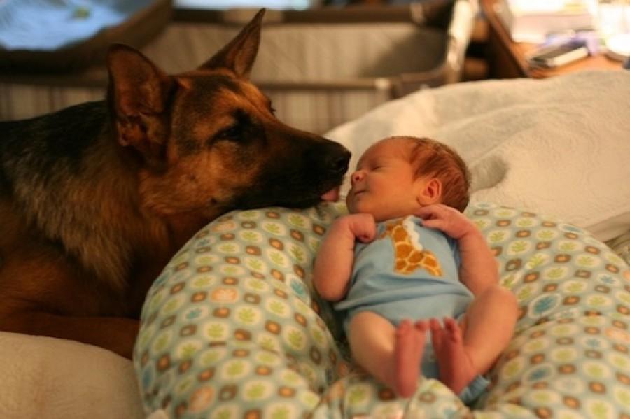 10 ok arra hogy miért ne legyen német juhász kutyád