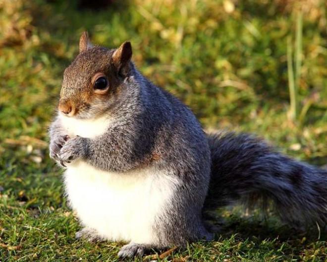 Gömbölyded mókusok lepték el Amerika és Kanada egyes részeit