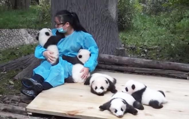 A világ legjobb munkája: hivatásos pandaölelgető